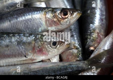 Close up of freshly caught Mediterranean sardines - Stock Photo