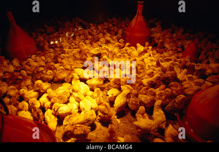 A huddle of one week old free range Chickens under a heat lamp. - Stock Photo