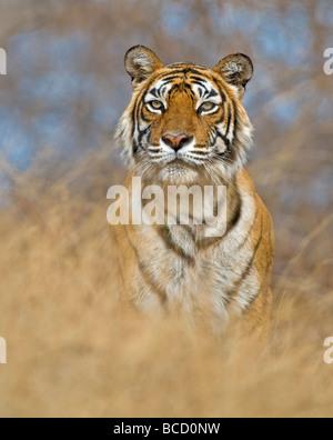 BENGAL TIGER (Panthera tigris tigris) female named machali. India - Stock Photo