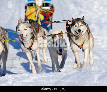 Details of a sled dog team in full action heading towards the camera - Stock Photo