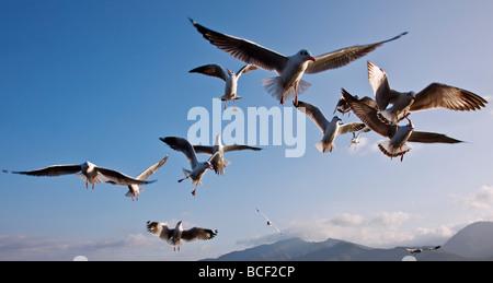 Myanmar, Burma, Lake Inle. Seagulls flying over Lake Inle. - Stock Photo