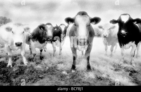 Six cows staring Shot on Kodak Infrared Film known for high grain and drum scanned - Stock Photo