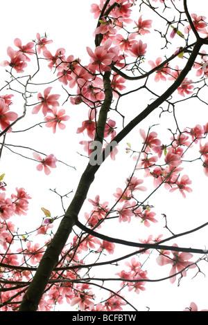 striking pink magnolia tree fine art photography Jane Ann Butler Photography JABP432 - Stock Photo