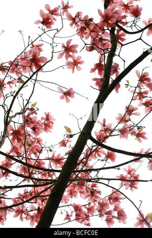 striking pink magnolia tree fine art photography Jane Ann Butler Photography JABP431 - Stock Photo