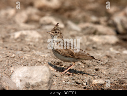 Crested lark Galerida cristata Bulgaria June 2009 - Stock Photo