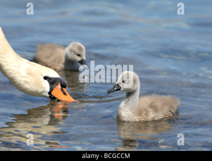 Swan and cygnet - Stock Photo