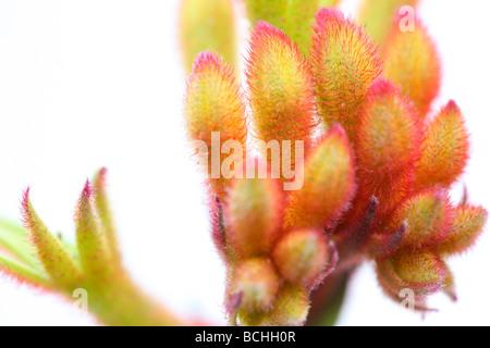 fresh and minimal image of Kangaroo Paw fine art photography Jane Ann Butler Photography JABP400 - Stock Photo