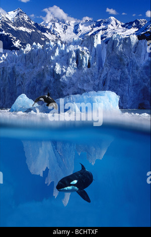 Orca Jumping Out of Water and Under Iceberg Composite/nAlaska - Stock Photo