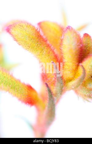 fresh and minimal image of Kangaroo Paw fine art photography Jane Ann Butler Photography JABP399 - Stock Photo
