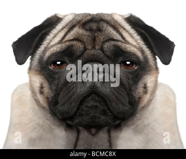 Pug, 4 years old, in front of a white background, studio shot - Stock Photo