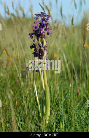Green-winged Orchid / Green-veined Orchid (Anacamptis morio) - Stock Photo