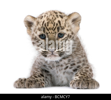 Persian leopard Cub, 6 weeks old, in front of a white background, studio shot - Stock Photo