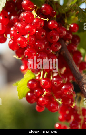 Fresh Redcurrants on a Red Currant bush - Stock Photo