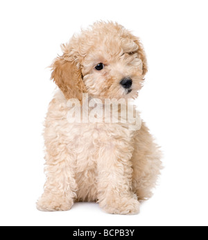 Apricot toy Poodle puppy siting, 9 weeks old, in front of a white background, studio shot - Stock Photo
