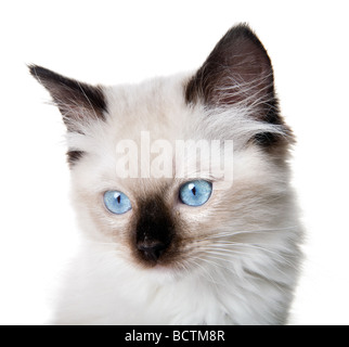 Closeup of an 11 weeks old Seal-point mitted ragdoll kitten - Stock Photo