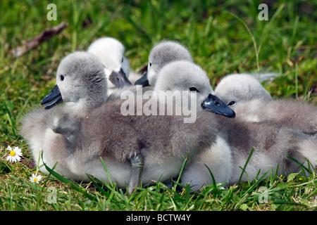 Mute Swan chicks (Cygnus olor) - Stock Photo