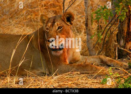 Lion (Panthera leo) sitting in a forest, Okavango Delta, Botswana - Stock Photo