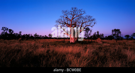 Boboa tree - Stock Photo