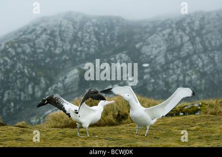 Wandering Albatross (Diomedea exulans) Courtship Dance, Bird Island, South Georgia Island, Antarctica - Stock Photo
