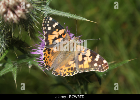 A Painted Lady butterfly resting on a thistle. - Stock Photo