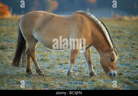 Norwegian Fjord horse. Adult grazing on a meadow covered in hoarfrost - Stock Photo