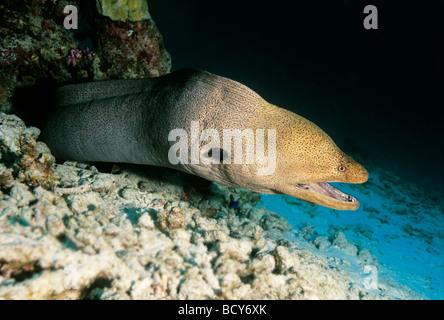 Giant moray (Gymnothorax javijancus) in its hideout, dangerous, Similan Islands, Andaman Sea, Thailand, Asia, Indian - Stock Photo