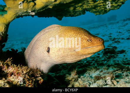 Giant moray (Gymnothorax javijancus) in its hideout, dangerous, Similan Islands, Andaman Sea, Thailand, Asia, Indian - Stock Photo