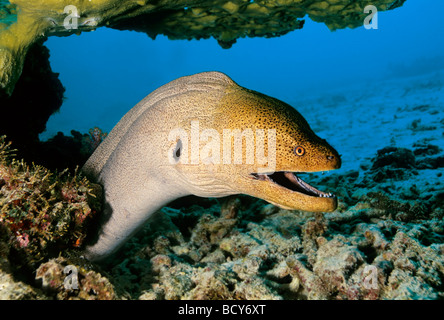 Giant moray (Gymnothorax javijancus) postering aggressively in its hideout, dangerous, Similan Islands, Andaman - Stock Photo