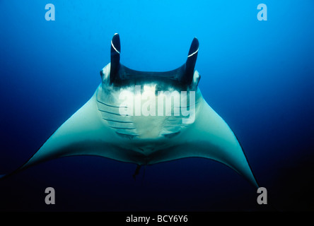 Manta Rays (Manta birostris), frontal, head fins rolled up, in midwater, blue water, Similan Islands, Andaman Sea, - Stock Photo