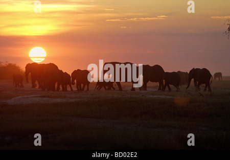 African elephants - sundown / Loxodonta africana - Stock Photo