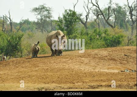Baby White Rhino Ceratotherium simum with mother Royal Hlane National Park Swaziland - Stock Photo