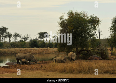 Hippoptamus amphibius and White Rhino Ceratotherium simum Royal Hlane National Park Swaziland - Stock Photo