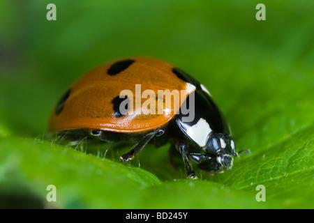 Seven-spot Ladybird (Coccinella septumpunctata) - Stock Photo