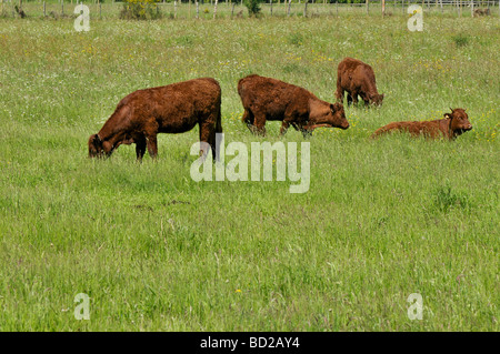 Four calves in a field, France - Stock Photo