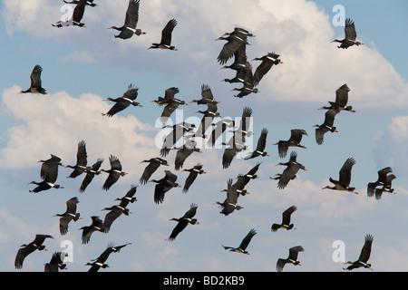 Abdims storks Ciconia abdimii in flight Kgalagadi Transfrontier Park South Africa - Stock Photo