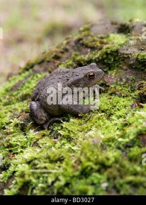 European or Common Toad, Bufo bufo, Bufonidae - Stock Photo