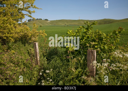 hedgerow and undergrowth in front of chalk white horse and monument on Cherhill Down near Calne in Wiltshire on - Stock Photo
