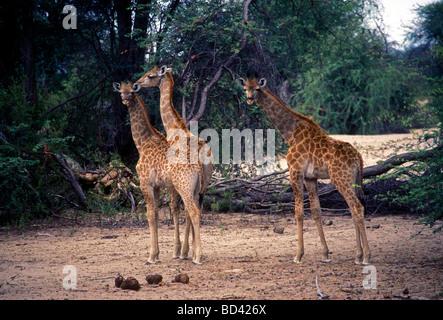 giraffe, giraffes, long legs, long neck, Hwange National Park, Matabeleland North Province, Zimbabwe, Africa - Stock Photo