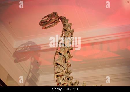 Cast of Jobaria tiguidensis, a sauropod from Early Cretaceous period, Australian Museum Sydney NSW Australia - Stock Photo