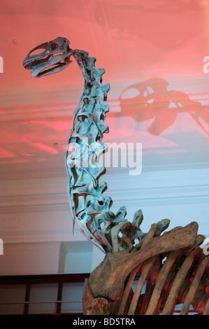 Cast of Jobaria tiguidensis, a sauropod from Early Cretaceous period, Australian Museum, Sydney, NSW, Australia - Stock Photo