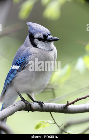 Blue Jay Cyanocitta cristata bromia in New York s Central Park - Stock Photo