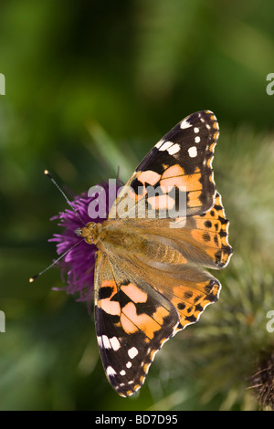 Upperwing of a Painted Lady butterfly (Cynthia cardui) feeding on a purple Spear thistle (Cirsium vulgare) flower - Stock Photo