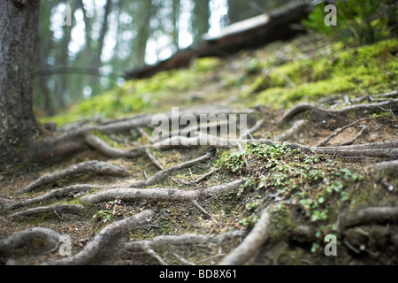 Exposed tree roots on a forested hillside.  Banff National Park, Alberta, Canada. - Stock Photo