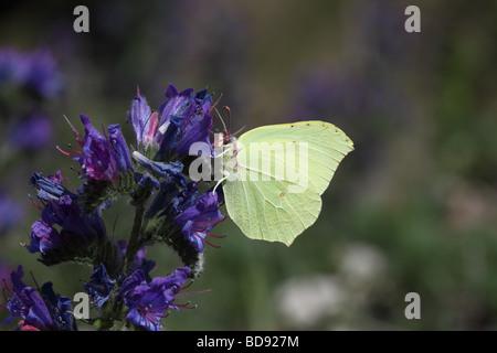 Brimstone Butterfly Gonepteryx rhamni Feeding on Vipers Bugloss Echium vulgare - Stock Photo