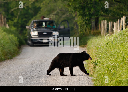 Black Bear Crossing Road in Front of Truck in the Great Smoky Mountains National Park in Tennessee - Stock Photo