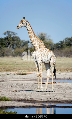 South African giraffe, Giraffa camelopardalis giraffa, standing next to a waterhole;Savute/Savuti area of Chobe - Stock Photo
