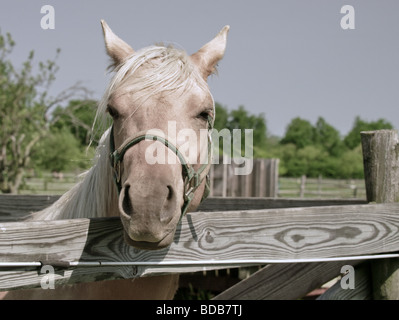 Palomino horse looking over wooden fence railing. - Stock Photo