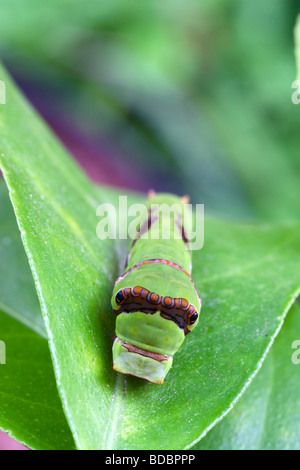 Mature (third) stage of the larva of a Citrus Swallowtail Butterfly (papilio demodocus), Kwazulu Natal South Africa - Stock Photo