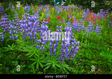Wildflowers along the Sunrise Rim trail in the Sunrise area of Mount Rainier National Park in western Washington - Stock Photo