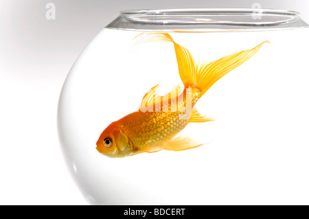 Horizontal close up of a bright orange goldfish [Carassius auratus] in a round fish bowl against a white background - Stock Photo